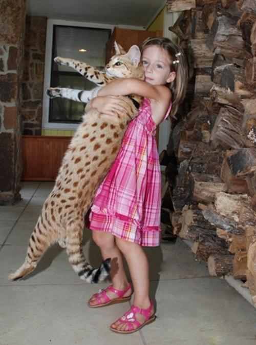 قد بلند گربه