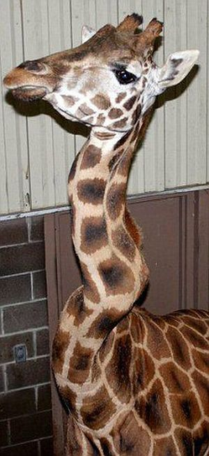 http://de.acidcow.com/pics/20091127/giraffe_with_a_crick_in_her_neck_03.jpg