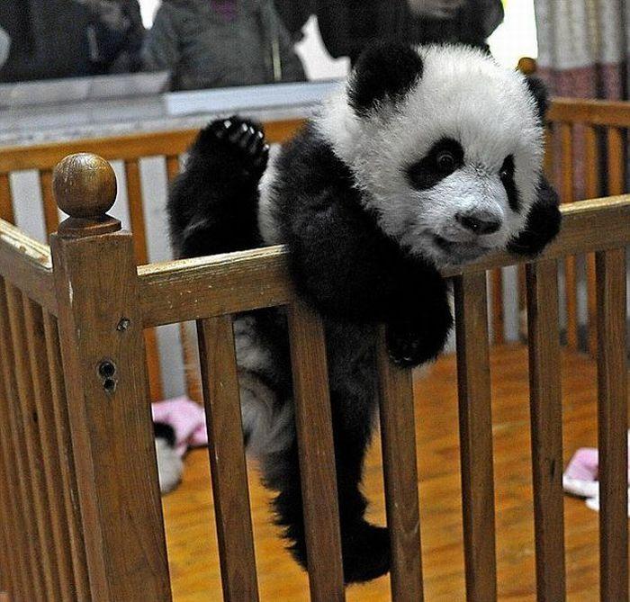 壁纸 大熊猫 动物 狗 狗狗 700_669