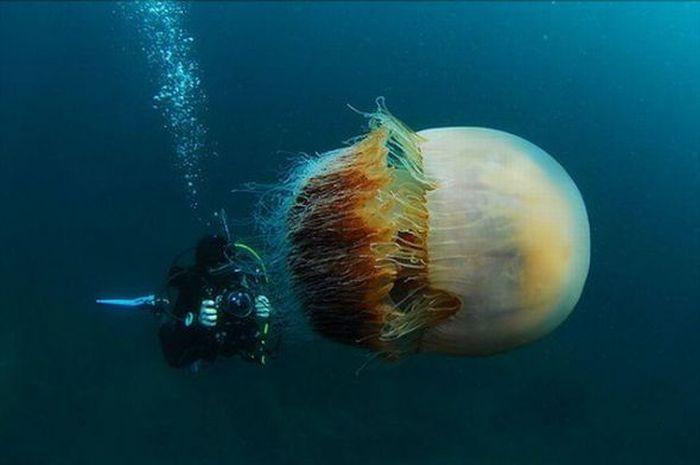 http://de.acidcow.com/pics/20100122/giant_jellyfishes_04.jpg