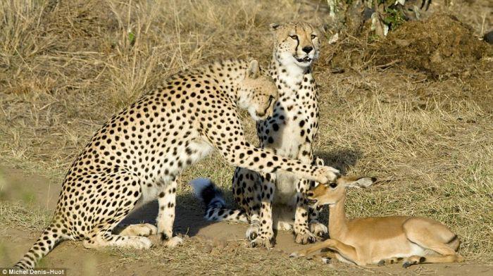 http://de.acidcow.com/pics/20100201/cheetahs_letting_tiny_antelope_go_01.jpg
