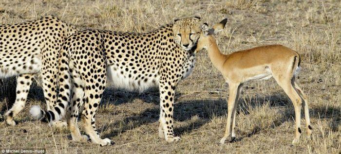 http://de.acidcow.com/pics/20100201/cheetahs_letting_tiny_antelope_go_02.jpg