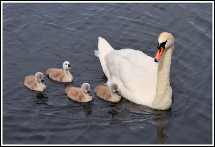 Hermosos cisnes bebes *Imperdible*