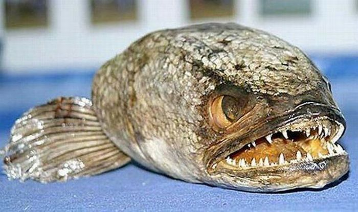 http://de.acidcow.com/pics/20101221/ugliest_and_scariest_fishes_10.jpg