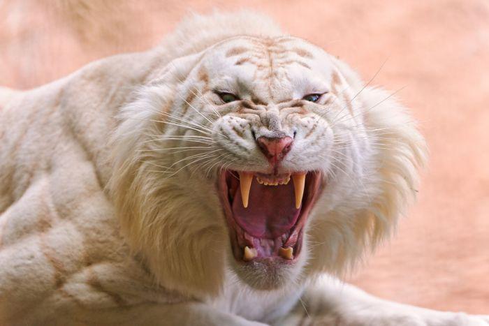 Fotos del Tigre blanco, excelentes imagenes...