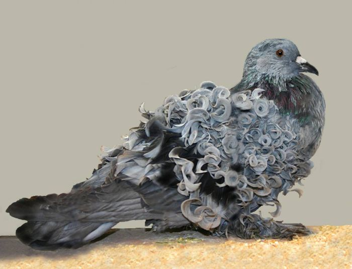 Blue bar grizzle FrillbackPigeon - via Flika frillback(blue bar)